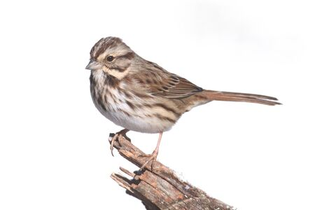 Song Sparrow (Melospiza melodia) perched on a tree limb with a white background