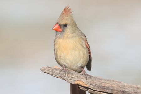 분기에 여성 북부 추기경 (cardinalis) 스톡 콘텐츠