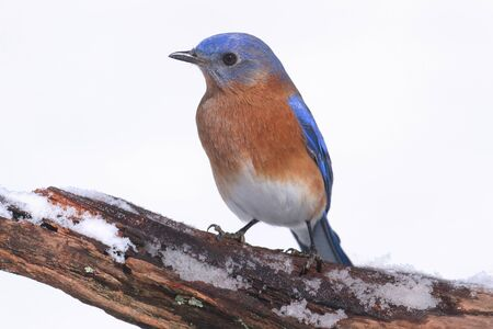 Male Eastern Bluebird (Sialia sialis) on a snow covered perch 스톡 콘텐츠