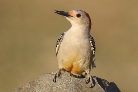 Female Red-bellied Woodpecker (Melanerpes carolinus) on a rock with a green background 스톡 콘텐츠