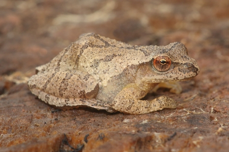 Spring Peeper (Pseudacris crucifer) on a log showing the distinctive crossed markings on the back 스톡 콘텐츠