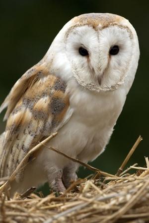 A barn Owl  Tyto alba  in North Yorkshire in the United Kingdom photo