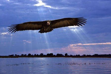 African Lappetfaced Vulture - Aegypius trachelliotus - flying low over the Chobe River on the Caprivi Strip on the Namibian border with Botswana  photo