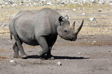 Black Rhinoceros - Diceros bicornis - in Etosha National Park in Namibia