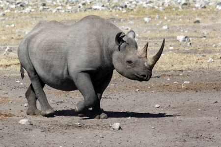 Black Rhinoceros - Diceros bicornis - in Etosha National Park in Namibia