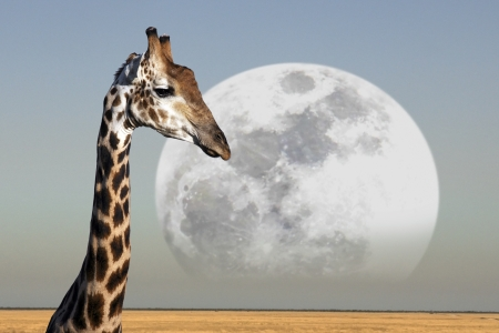 Luna che sorge sopra una giraffa in Etosha National Park in Namibia photo