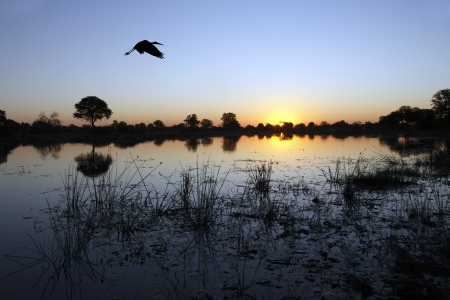 Yellowbilled Stork flying over the Okavango Delta at dusk in Botswana Stock Photo