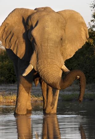 pozo de agua: Un elefante africano Loxodonta africana en un pozo de agua en la regi�n de Savuti de Botswana