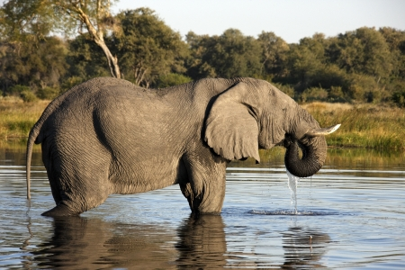 African Elephant - Loxodonta africana - in a waterhole in the Savuti area of Botswana