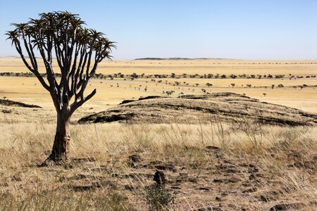 quiver: Quiver Tree in the semi-desert planes of the Namib Naukluft Desert in Namibia