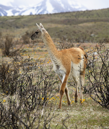guanicoe: A Guanaco  Lama guanicoe  - A type of Llama found in the Andes of South America Photographed in Torres del Paine National Park in Patagonia in southern Chile   Stock Photo