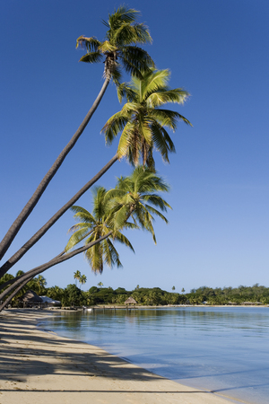 musket: Leaning palm trees at Musket Cove in Fiji in the South Pacific  Stock Photo