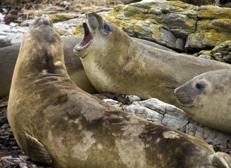 carcasse: Elephant Seal - Mirounga angustirostris - sur l'�le de carcasses dans les �les Falkland