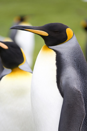 King Penguins - Aptenodytes patagonicus - Volunteer Point in the Falkland Islands photo