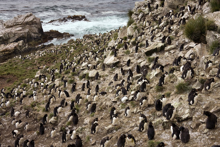 penguin colony: Rockhopper Penguin colony - Eudyptes Chrysocome - on Pebble Island in West Falkland in The Falkland Islands