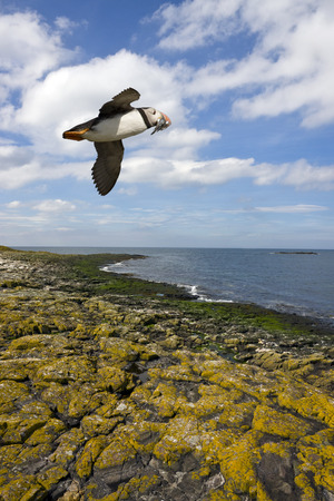 puffins: A Puffin - Fratercula arctica - with a beak full of sand eels flying over the cliffs on Inner Farne Island in the Farne Islands off the Northumberland coast in northeast England  Puffins feed mainly on sand eels but also take small crustaceans and squid