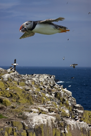 arctica: Puffins - Fratercula arctica - with a beak full of sand eels flying over the cliffs