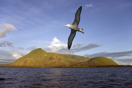 Black browed Albatross  photo