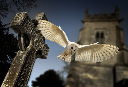 Barn Owl - Tyto alba - in a graveyard in North Yorkshire in the late evening