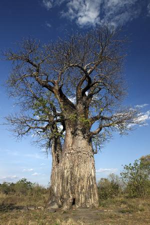 digitata: An old Baobab Tree - Adansonia digitata - in the Savuti area of Botswana