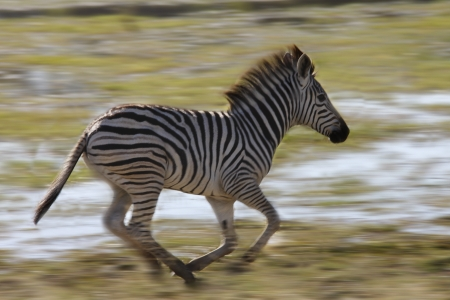 A young Zebra - Equus quagga - running from danger in the Khwai River area of Botswana