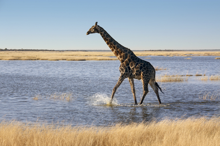 A Giraffe - Giraffa camelopardalis - crossing a flooded salt pan in Etosha National Park in Namibia  photo