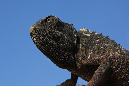 africa chameleon: Namaqua chameleon in the Namib-Naukluft Desert in Namibia Stock Photo
