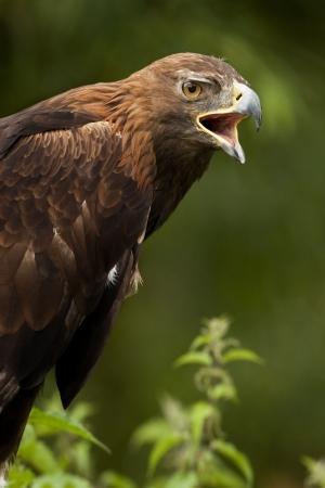 aquila reale: Golden Eagle - Aquila chrysaetos - nelle Highlands scozzesi nel Regno Unito Archivio Fotografico