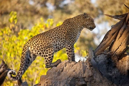 panthera pardus: A Leopard - Panthera pardus - in the Okavango Delta in Botswana Stock Photo