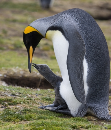 Adult King Penguin with chick at Volunteer Point on the Falkland Islands photo