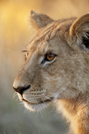 A young lioness - Panthera leo - in the Xakanixa region of the Okavango Delta in Botswana photo