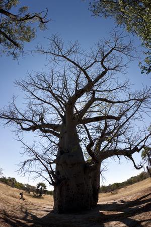 digitata: Old Baobab Tree - Adansonia digitata - in the Caprivi Strip in Namibia