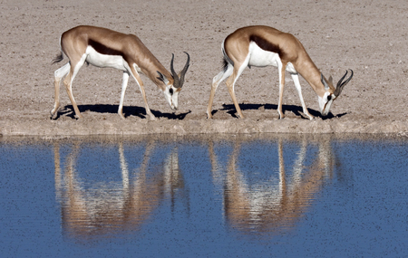 antidorcas: Two young male Springbok - Antidorcas marsupialis - near a fly covered waterhole in Etosha National Park in Namibia