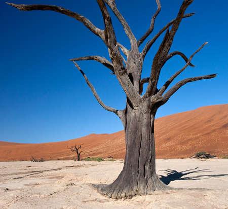 vlei: Petrified tree at Dead Vlei salt pan near Sossusvlei in the Namib Desert in Namibia Stock Photo