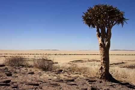 quiver: Quiver Tree - Kokerboom - in de semi-woestijn gebieden van het Namib Naukluft in Namibië