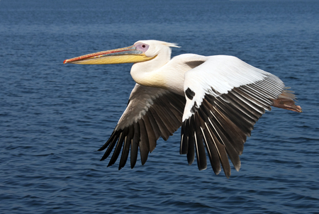 beack: A Great White Pelican - Pelecanus onocrotalus - in flight over the sea near the coast of Namibia