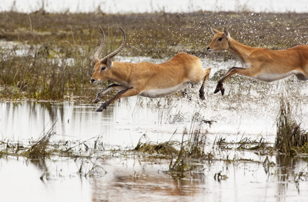 chobe: A group of Red Lechwe antelopes - Kobus leche - running through shallow water in the Chobe National Park in Botswana