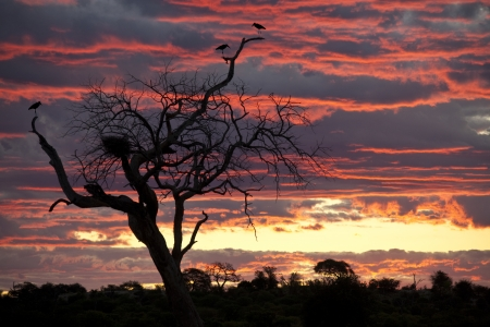A group of Marabou Storkes - Leptoptilos crumeniferus - roosting in a dead tree at sunset in the Chobe River area of Botswana  photo