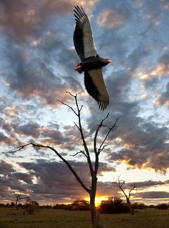 An African Bateleur Eagle - Terathopius ecaudatus - at sunset in the Savuti region of northern Botswana  photo