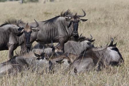 taurinus: A group of Wildebeest - Connochaetes taurinus - in the Savuti region of northern Botswana