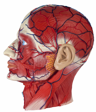 Human Physiology - Model of the human head showing major blood vessels and muscles  photo