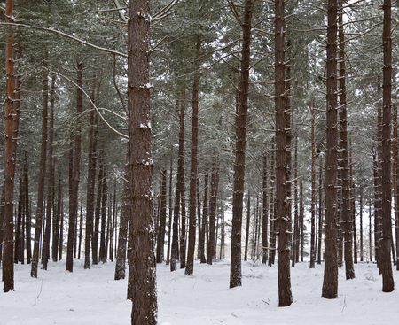 A plantation of pine trees in winter snow  photo