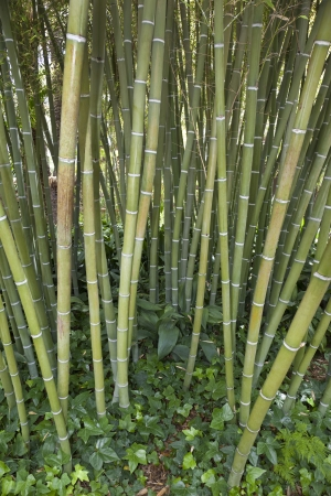 chiefly: Bamboo - A giant woody grass that grows chiefly in the tropics, where it is widely cultivated  The hollow jointed stem of this plant is used as a cane or to make furniture etc  Stock Photo