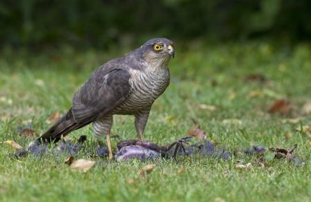 bird eating raptors: A female Eurasian Sparrowhawk,  Accipiter risus,  eating it