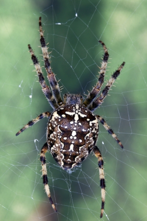 arachnids: Spiders are air-breathing arthropods that have eight legs and chelicerae with fangs that inject venom