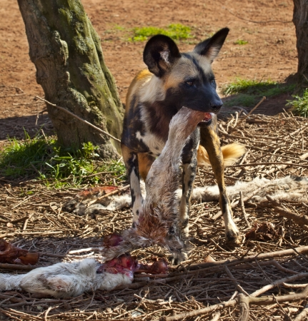 lycaon pictus: An African Wild Dog  Lycaon pictus  eating the leg of an antelope in the Savuti region of Botswana  It is also known as a Painted Wolf and is now an endangered species  Stock Photo