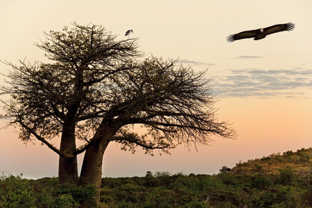 digitata: Lappetfaced Vulture  Argypius tracheliotus  flying past a Marabou Stork  Leptoptilos crumeniferus  roosting in a Baobab Tree  Adansonia digitata  at dusk in the Savuti area of Botswana