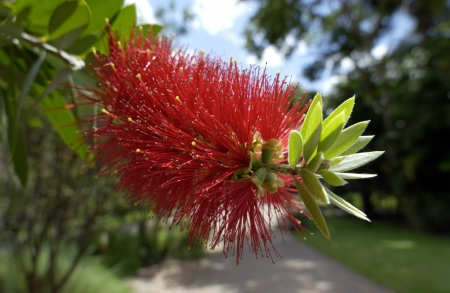 callistemon: Bottlebrush plants,  Callistemon citrinus  are endemic to Australia  Stock Photo