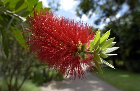 callistemon citrinus: Bottlebrush plants,  Callistemon citrinus  are endemic to Australia  Stock Photo