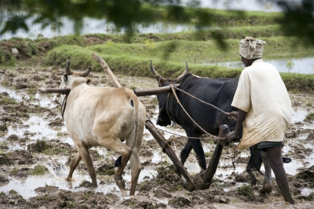 Peasent subsitance farmer ploughing a paddy field in the Chettinad district of the Tamil Nadu region of southern India.